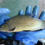 re-stocking tench