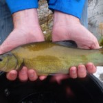 Cracking new tench for the Old River Irwell in Irlam