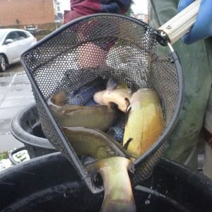 Restocking Tench