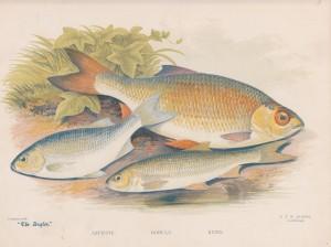 Azurine, Double, Rudd - The Angler Magazine 1948