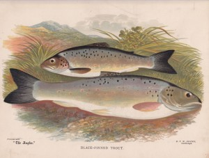 Black Finned Trout - The Angler Magazine 1948