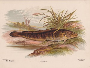 Burbot - The Angler Magazine 1948