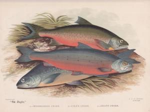 Grey's Charr , Cole's Charr, Alpine Charr - The Angler Magazine 1948
