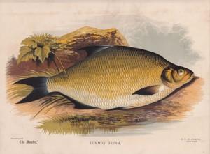 Common Bream - The Angler Magazine 1948