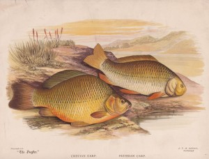 Crucian Carp, Prussian Carp - The Angler Magazine 1948