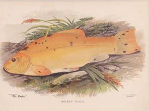 Golden Tench - The Angler Magazine 1948