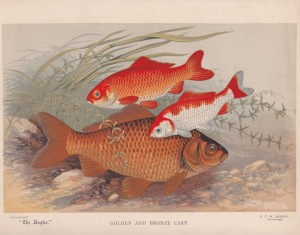 Golden and Bronze Carp - The Angler Magazine 1948