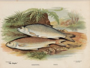 Graining and Dace - The Angler Magazine 1948
