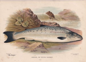 Grilse or young Salmon - The Angler Magazine 1948