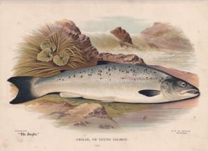 Grilse or young Salmon - The Angler Magazine 1948
