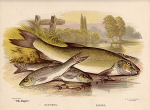 Gudgeon and Barbel - The Angler Magazine 1948