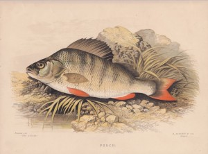 "Perch print 1948 ""The Angler"""