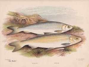 Pollan and Powan - The Angler Magazine 1948