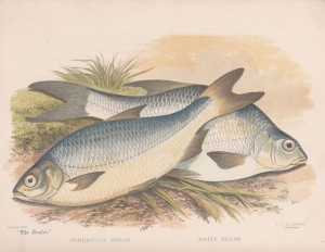 Pomeranian Bream and White Bream - The Angler Magazine 1948