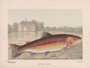 Rainbow Trout - The Angler Magazine 1948
