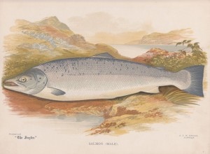 Salmon male - The Angler Magazine 1948