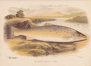 salmon trout var - The Angler Magazine 1948