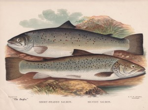 Short Headed Salmon and Silver Headed Salmon - The Angler Magazine 1948