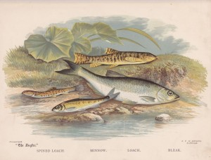 Spined Loach, Minnow, Loach, Bleak - The Angler Magazine 1948