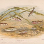The Angler Magazine 1948 Fish Prints