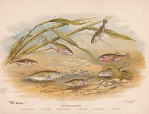 Sticklebacks - The Angler Magazine 1948