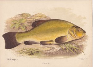 Tench - The Angler Magazine 1948