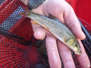 6 inch barbel being stocked into the River Irwell at Salford Racecourse December 2011