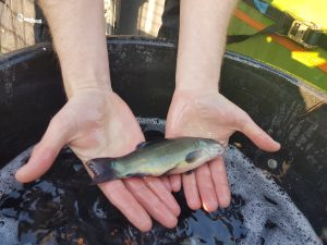 young tench from the EA National Fish Farm