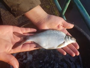 young bream from the EA National Fish Farm
